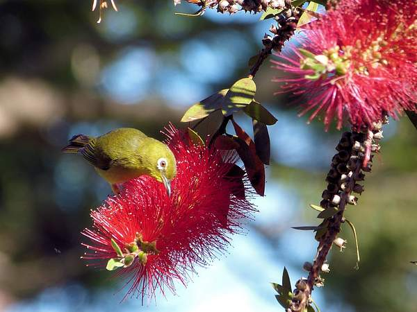 Mejiro (Japanese White Eye) on Bottle Brush Alden Cornell Molokai Hawaii