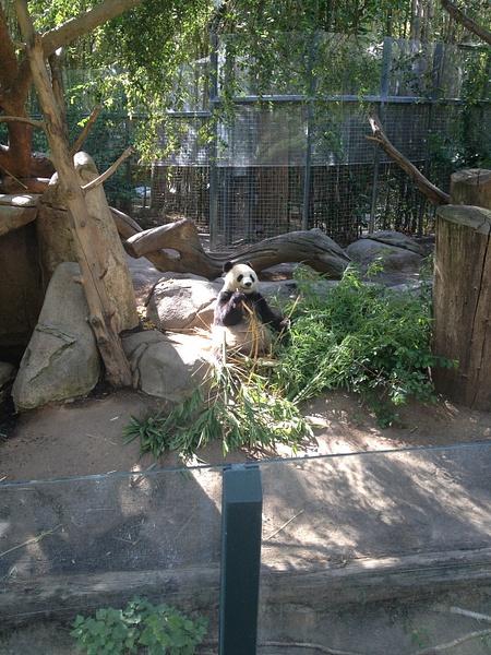 Panda eating bamboo by RyanAvelino