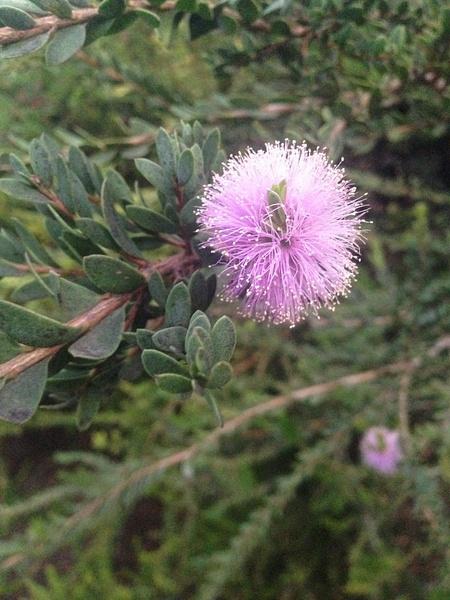 Pink Fluffy Flower by RyanAvelino