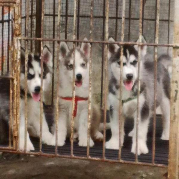 Siberian pups by SridaSoedibjo