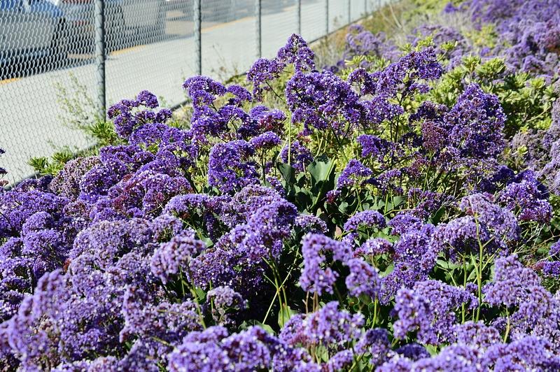 purple regular