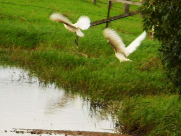cattle egrets taking off