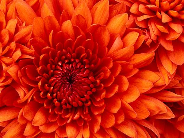 Chrysanthemum 222