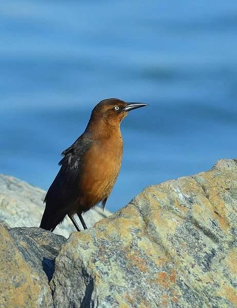 Boat Tailed Grackle (Female) - Fenwick Island, DE