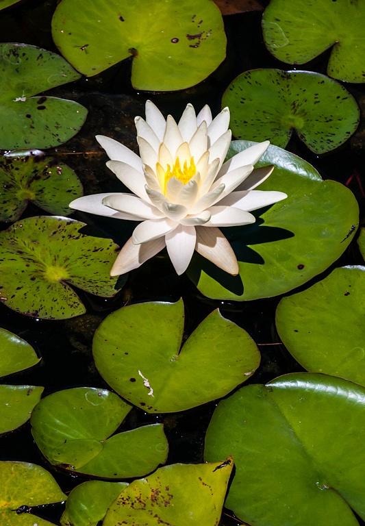 9 pond lily
