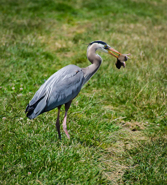 Great Blue Heron/gopher by JerryRobinson