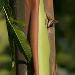EUCALYPTUS-deglupta_Rainbow-Eucalyptus