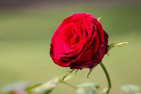 rose_Rouge by EddyVanhoeke