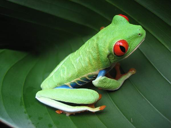Costa_Rican_Frog 222