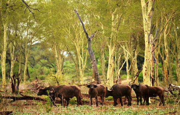 Buffalo herd in forest