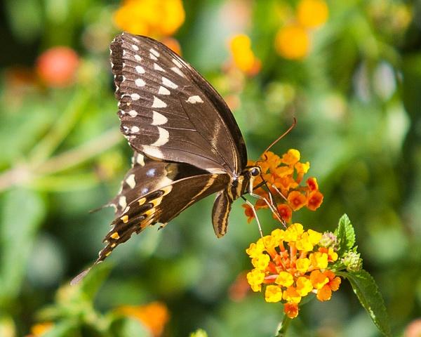 Frontyard Butterflies by FletcherImages