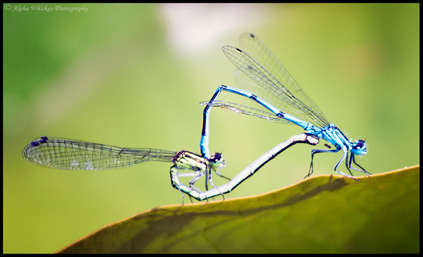 Mating by Alpha Whiskey Photography
