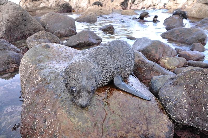Seals, Kaikoura NZ