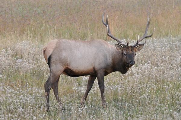 Elk (Jasper,NP) by soulJAH