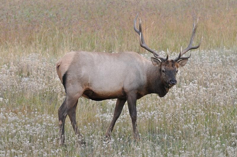 Elk (Jasper,NP)