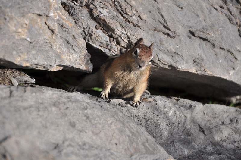 Ground Squirrel (Jasper, NP)