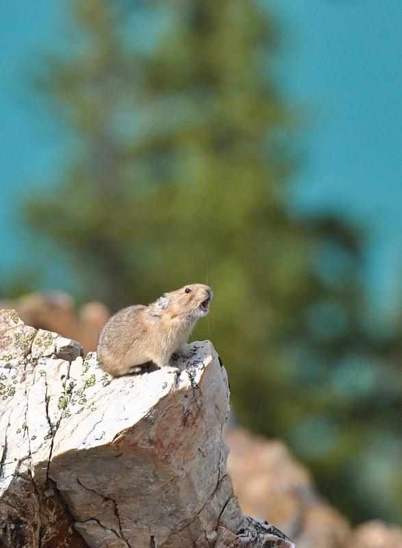Pika (Peyto Lk, Banff NP)