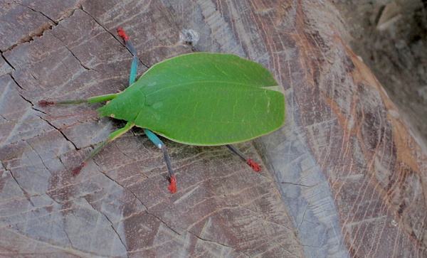 Phylliidae (Leaf Insect) inside BenCab Museum, Baguio City by RollyTanchanco