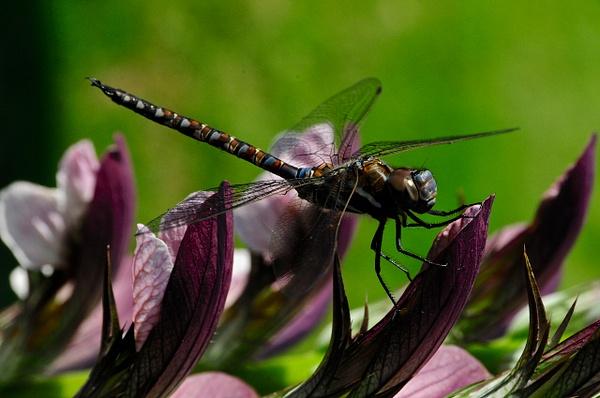 Dragon Fly by Marv Ferg