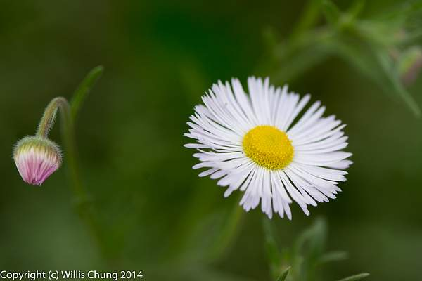 Oxeye Daisy, and one to come later