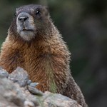 2015Aug Rocky Mountain Natl Park Marmots