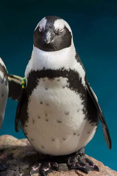 Plump penguin posing peacefully