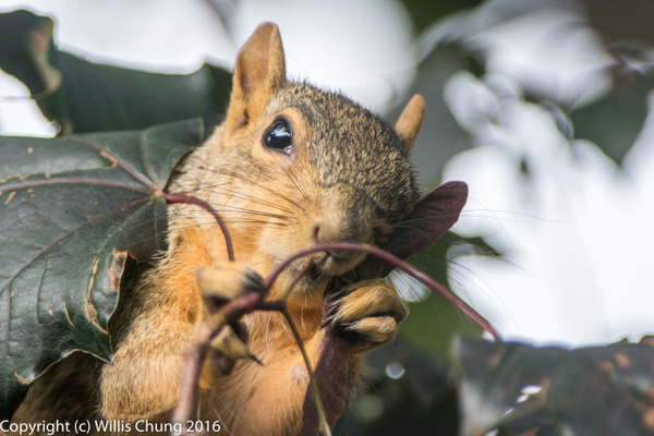 2015July Squirrel breakfasting on maple seeds by Willis Chung