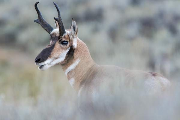 Looks like the pronghorn antelope buck has something to say...