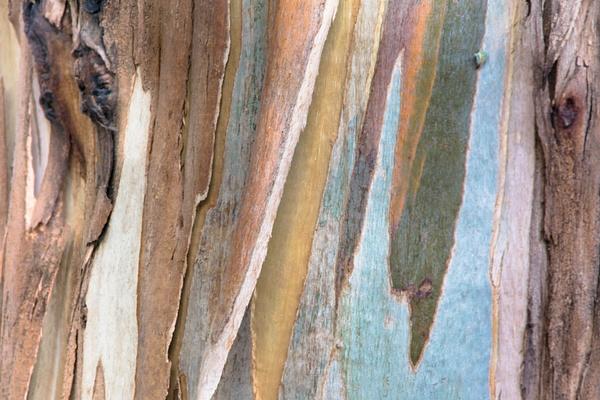 The Eucalyptus by Ellen Lee