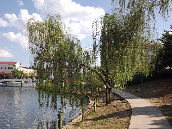 Weeping Willow by DMont