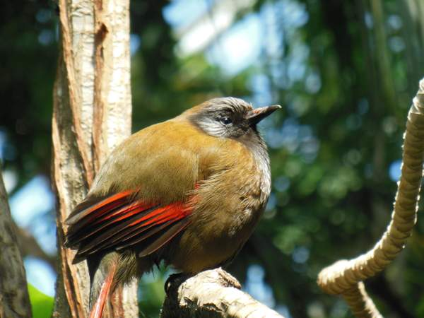 Red Winged Laughing Thrush (NW Vietnam & SW China)