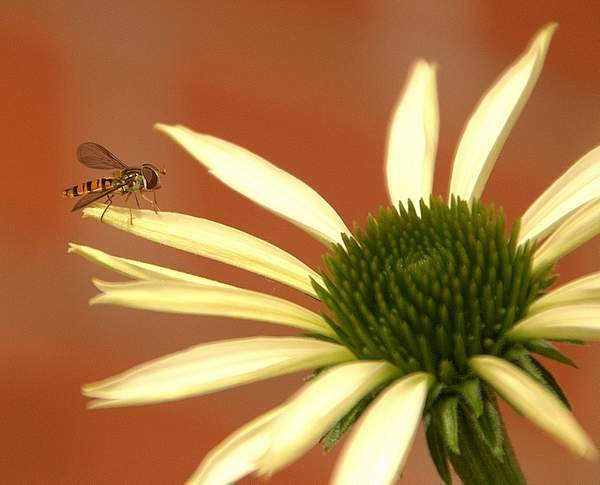 FLY_-_Hover_fly_-_Northenden_(5)