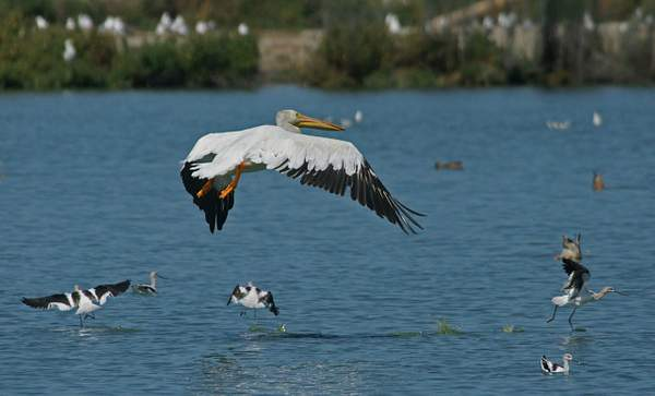 American_White_Pelican_and_American_Avocets 222