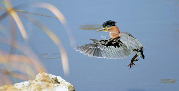 Green_Heron(Butorides_virescens)_with_landing_gear_down 222