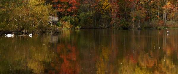 Reflections-Mute_Swams,Great_blue_Heron,_Fall_Foliage_9 222
