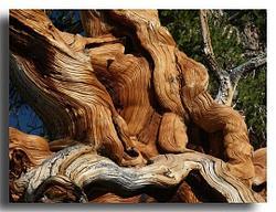 The Bristlecone Forest