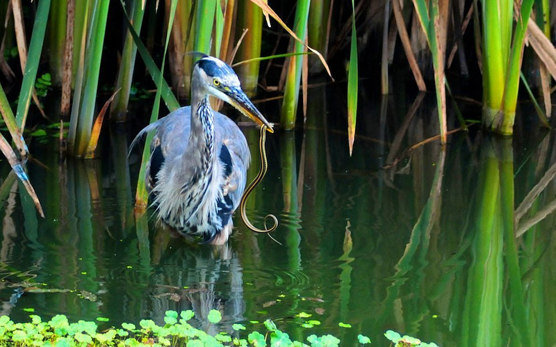 Heron with it's Dinner