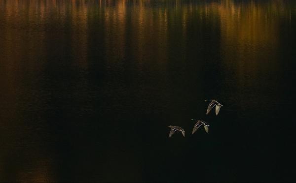 Ducks at the Hollywood Reservoir - Los Angeles by DaveWyman