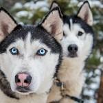 2014_01_Бег снежной собаки