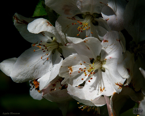SMP-0003_Blossom-Apple by StevePettit