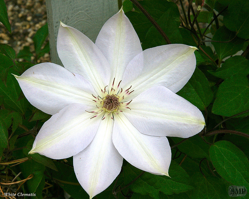 SMP-0007_Clematis-White