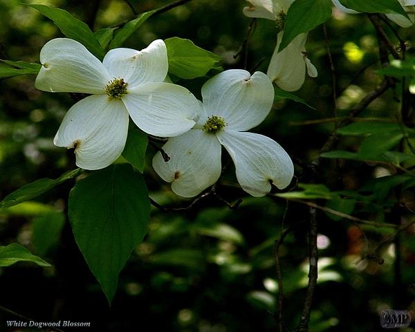 SMP-0014_Blossom-Dogwood_White by StevePettit