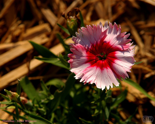 SMP-0020_Dianthus-Sweet_Williams by StevePettit