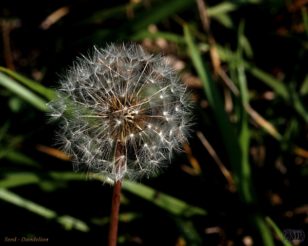 SMP-0039_Seed-Dandelion by StevePettit