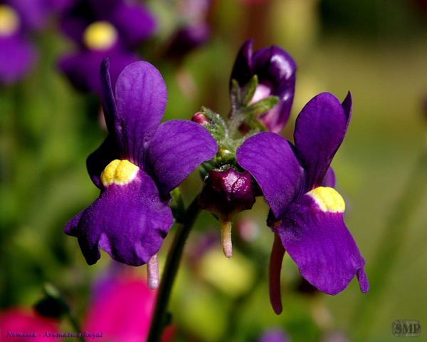 SMP-0042_Nemesia-Aromatica_Royal by StevePettit