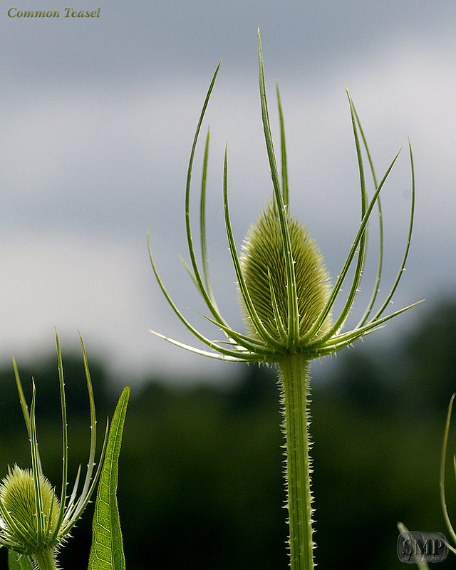 SMP-0051_Common_Teasel