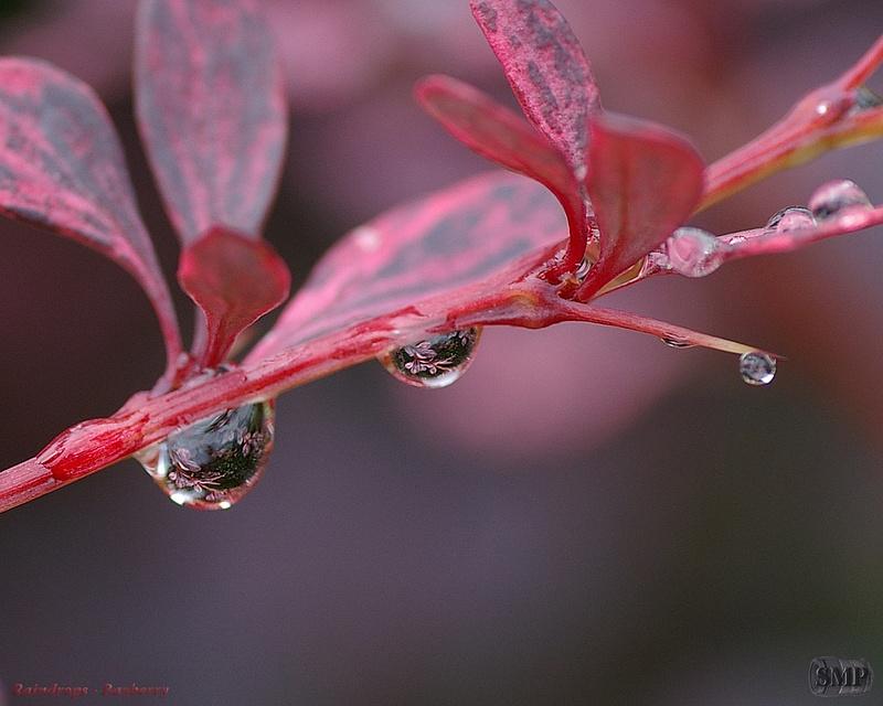 SMP-0062_Raindrop-Bayberry