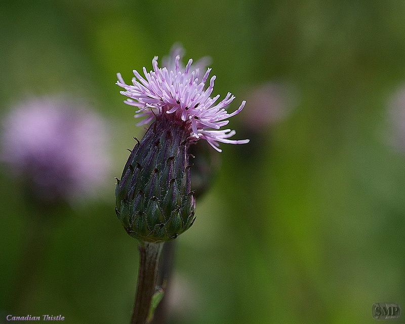 SMP-0075_Thistle-Canadian