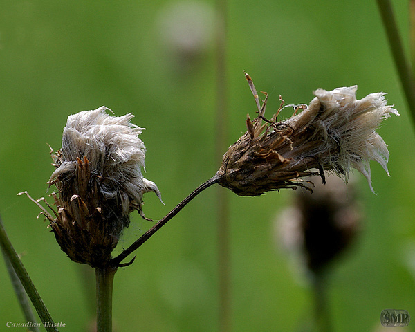SMP-0148_Thistle-Canadian by StevePettit