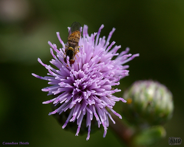 SMP-0118_Thistle-Canadian by StevePettit